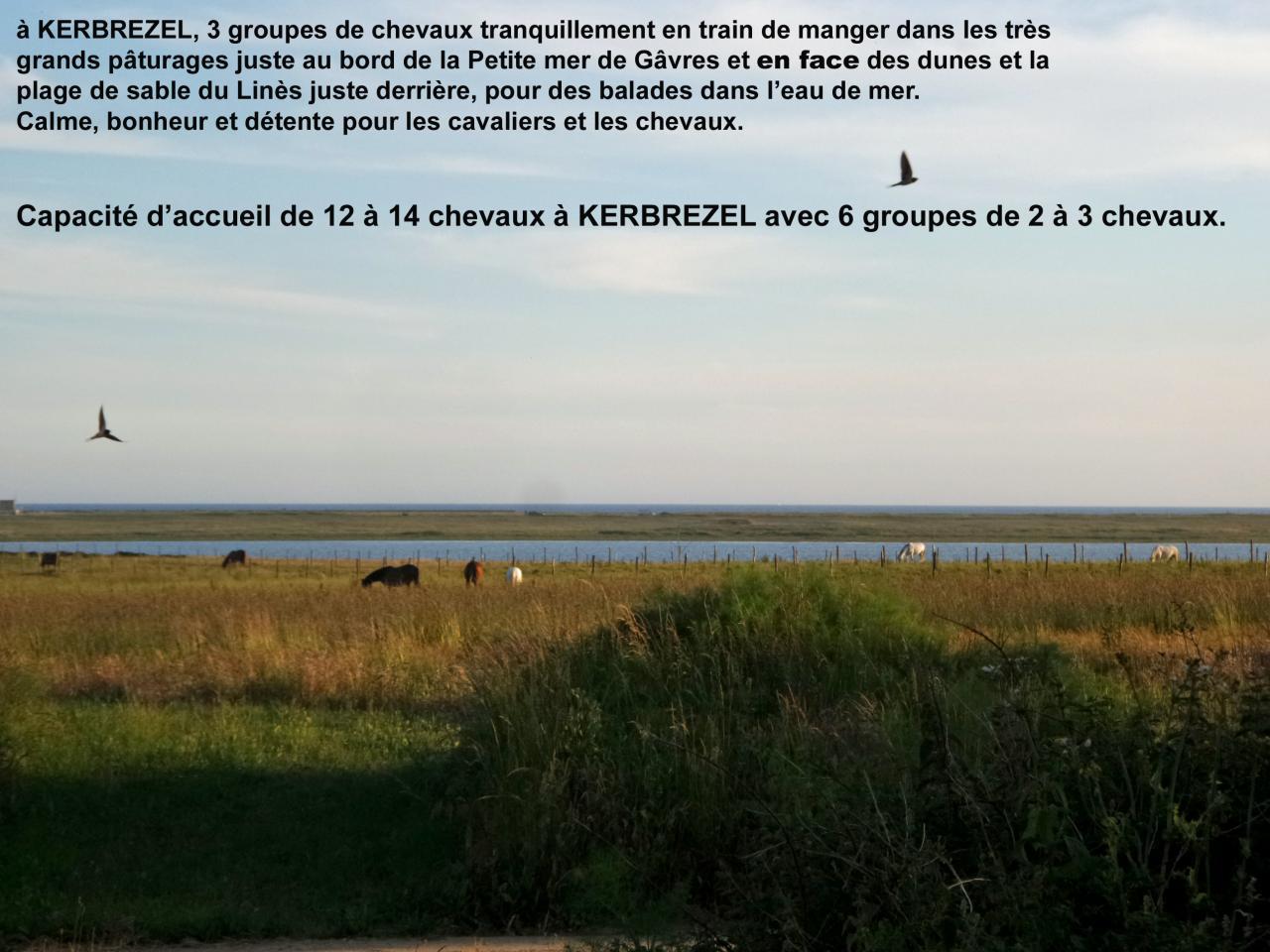 Chevaux à Kerbrézel au calme au bord de la Petite mer de Gâvres en juillet